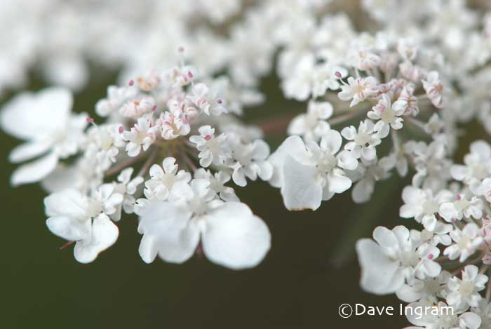 Queen Anne's Lace (Daucus carota)