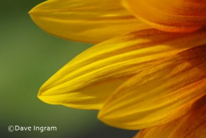 Sunflower Petals 1