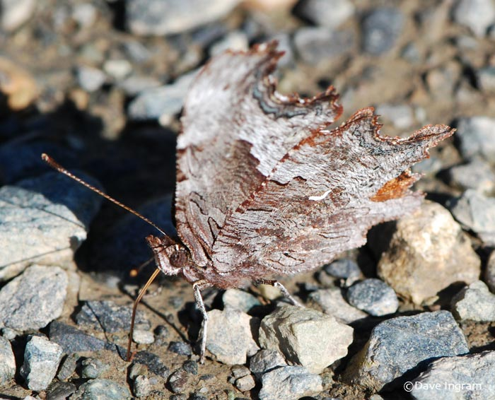 Zephyr Anglewing | Polygonia zephyrus