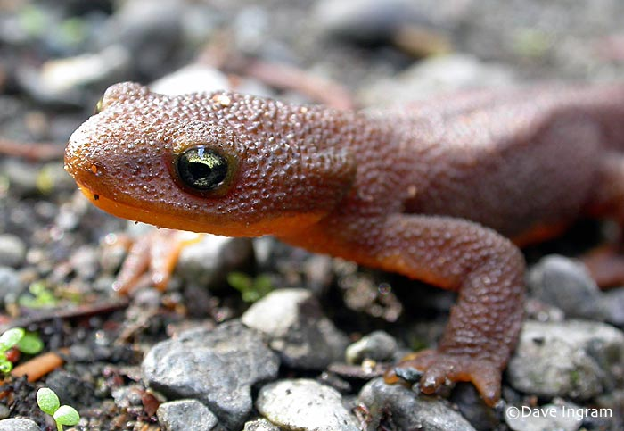 Rough-skinned Newts on the Move