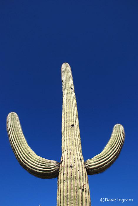 Saguaro Cactus | Carnegiea gigantea
