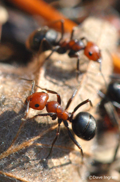 Thatching Ants (Formica spp.)