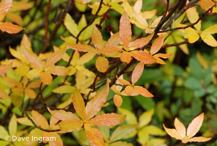 White-Flowered Rhododendron | Rhododendron albiflorum
