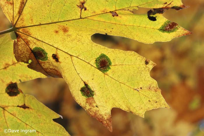 Speckled Tar Spot (Rhytisma punctatum) on Bigleaf Maple (Acer macrophyllum)