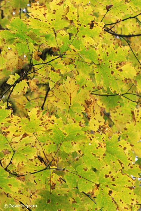 Bigleaf Maple | Acer macrophyllum