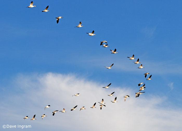 Snow Geese | Chen caerulescens