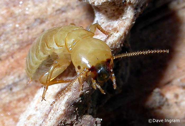 Termite worker - photo#15