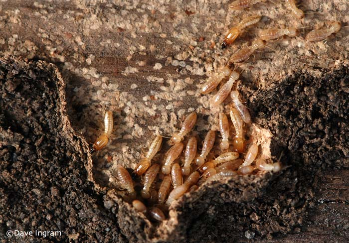 Termites nest - photo#22