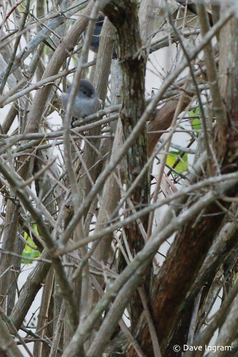 Bushtits in the bush - more evidence that a good telephoto lens is needed.