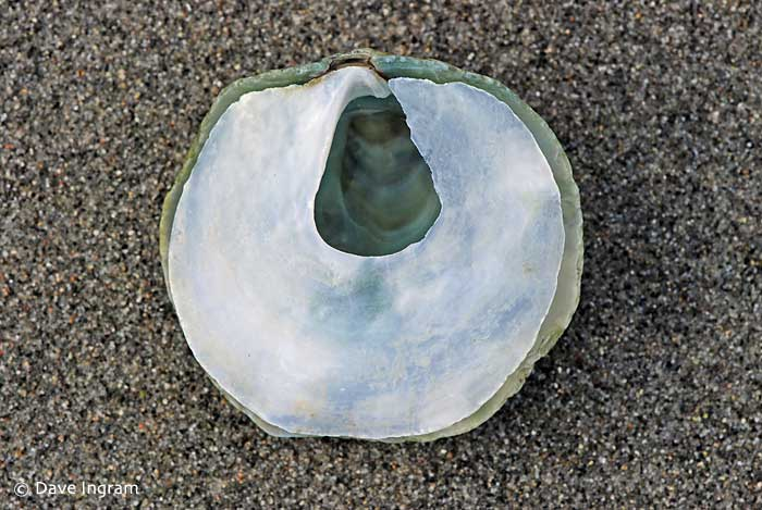 Jingle Shell Oyster | Pododesmus macrochisma - Other common names include the Green Falsejingle, False Pacific Jingle, Jingle Shell, Rock Jingle, and Pacific Rock Oyster.