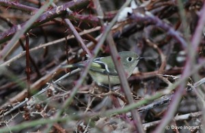 Ruby-crowned Kinglet in blackberry brambles.