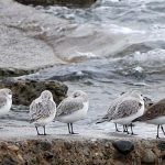 Sanderling and Dunlin at Air Force Beach, Comox BC