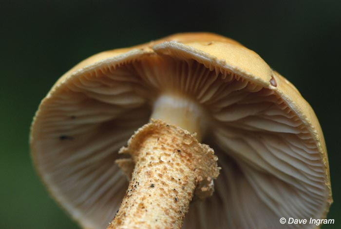 The underside of the mushroom above. Gills, volva and spore prints would help to identify this species.