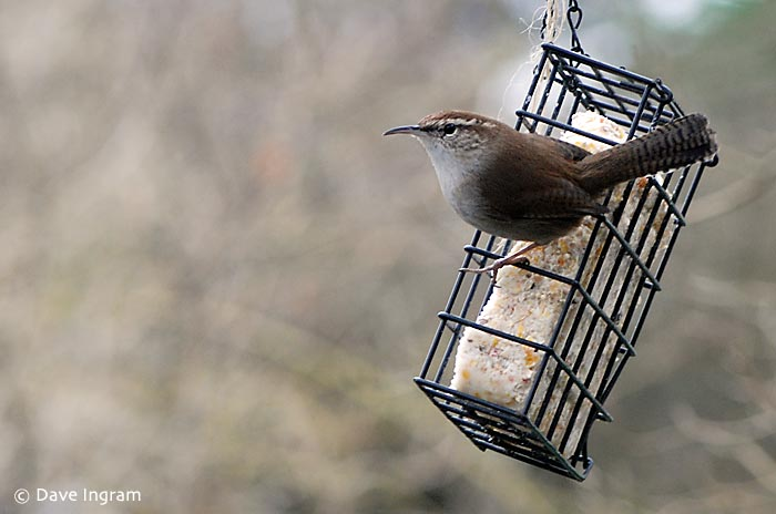 Bewick's Wren (Thryomanes bewickii) at the suet feeder.