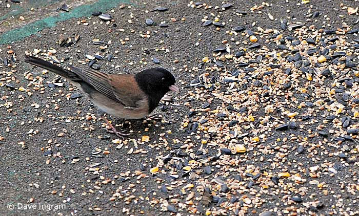 Dark-eyed Junco (Junco hyemalis) - a common bird at our feeders.