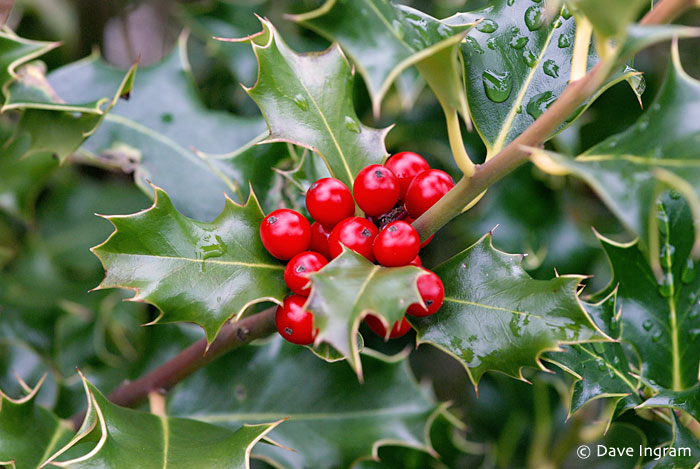 English Holly (Ilex aquifolium) - if you squint hard enough you can see the faeries and tiny elves.