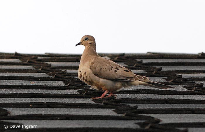 Mourning Dove (Zenaida macroura) on its very safe perch of our roof top.