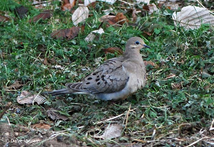Mourning Dove (Zenaida macroura) close to the somewhat safe feeding area inside our fenced vegetable garden.