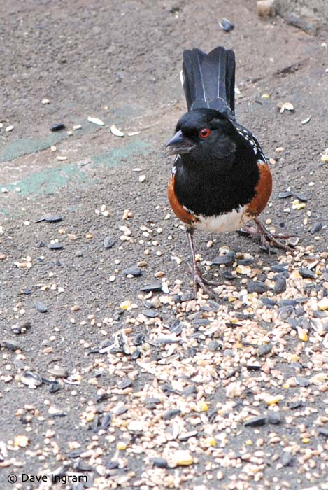 Spotted Towhee (Pipilo maculatus) - a regular at the feeders.