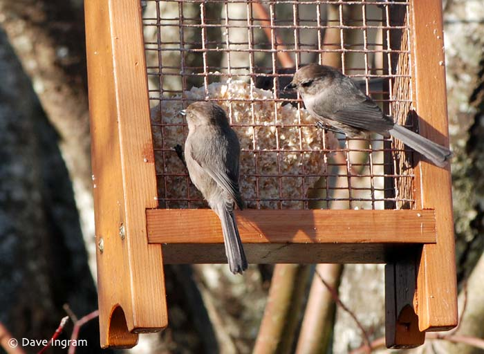 Bushtit (Psaltriparus minimus) at feeder.