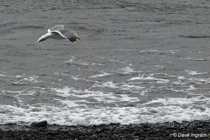 Gull Photograph #2