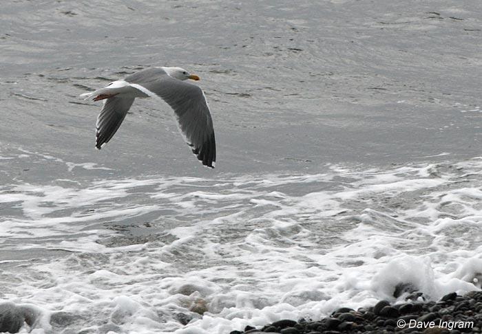 Gull Photograph #4