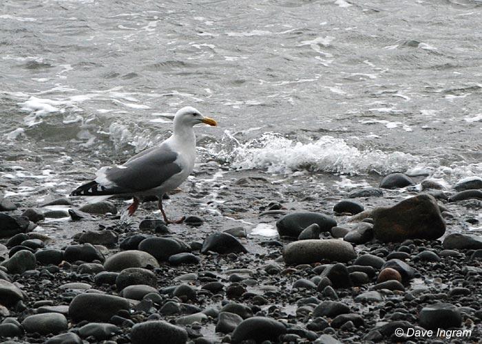 Gull Photograph #5