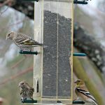 siskins_finches