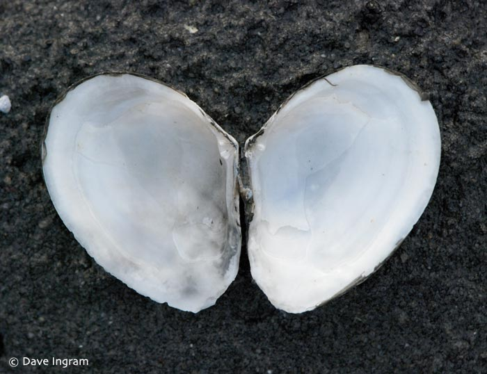 Bent-nosed Clam (Macoma nasuta) - inner surface