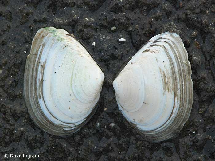 Bent-nosed Clam (Macoma nasuta) - outer shell