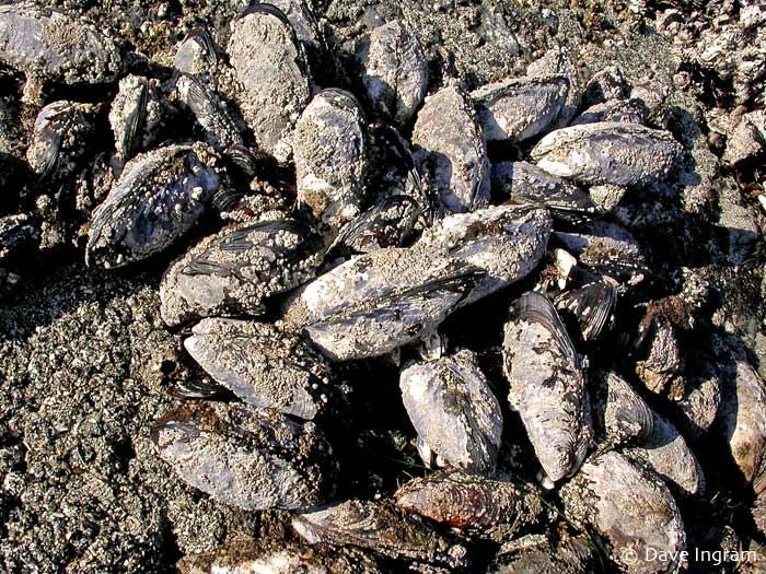 California Mussels (Mytilus californianus)