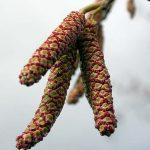 Red Alder (Alnus rubra) Catkins