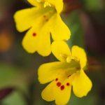 Chickweed Monkey-flower (Mimulus alsinoides)