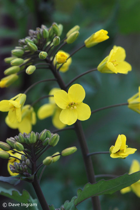 Kale (Brassica oleracea) flower.