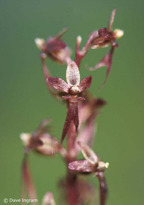 Heart-leaved Twayblade (Listera cordata)