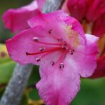Pacific Rhododendron (Rhododendron macrophyllum) Flower