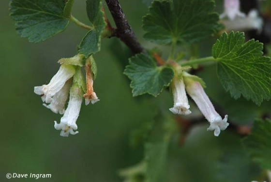 Squaw Currant (Ribes cereum)