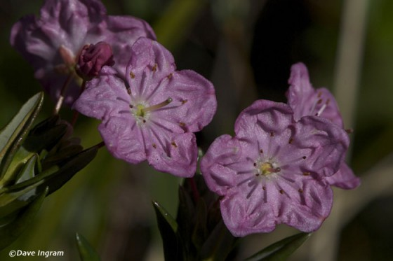Western Bog-laurel (Kalmia microphylla ssp. occidentalis)