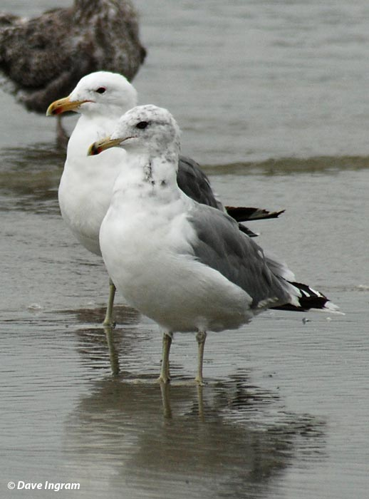 California Gulls (Larus californicus)