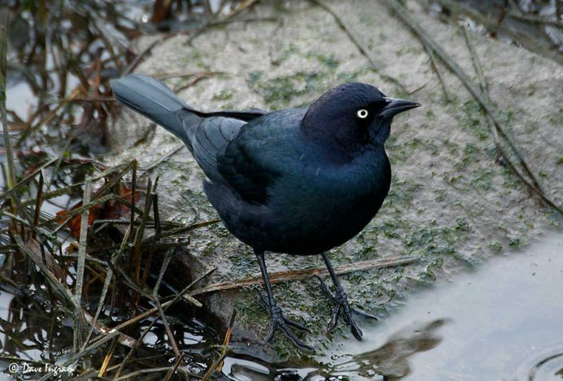 Male Brewer's Blackbird (Euphagus cyanocephalus)