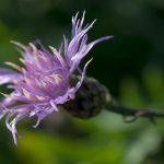 Spotted Knapweed (Centaurea stoebe ssp. micranthos) Flower