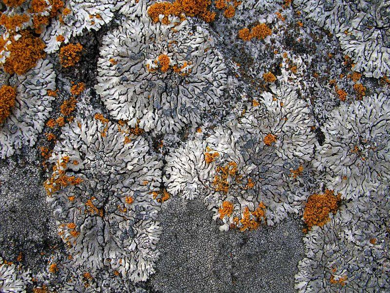Crust Lichen