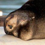 california_sea_lion_thumb