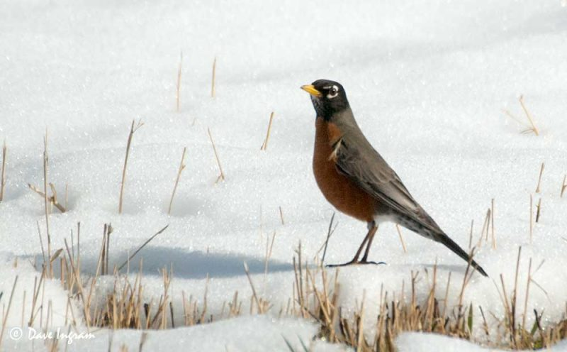 American Robin (Turdus migratorius) on Snow
