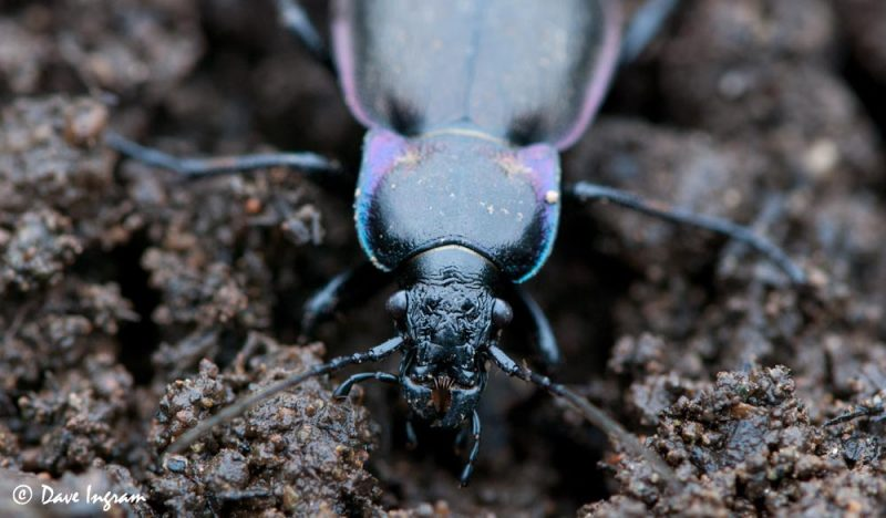 European Ground Beetle (Carabus nemoralis)