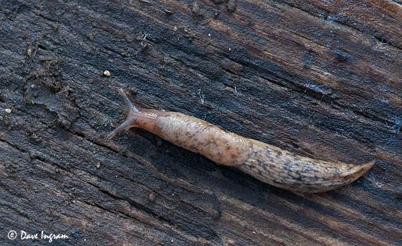 Meadow Slug (Deroceras laeve)