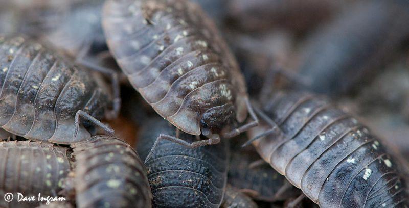 European Sowbug (Oniscus asellus)