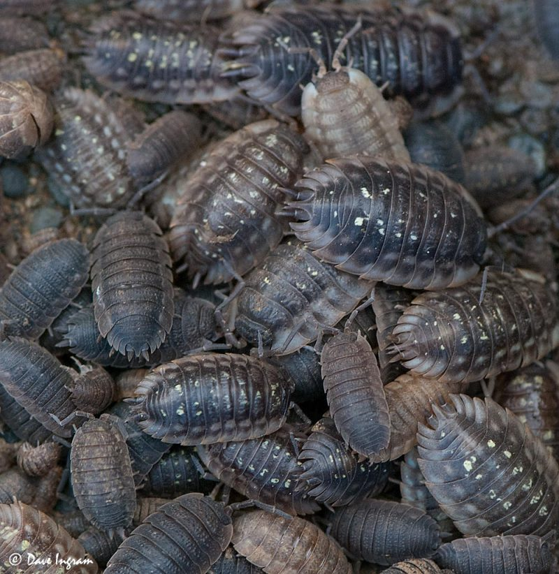 Sowbugs (Oniscus asellus and Porcellio scaber)