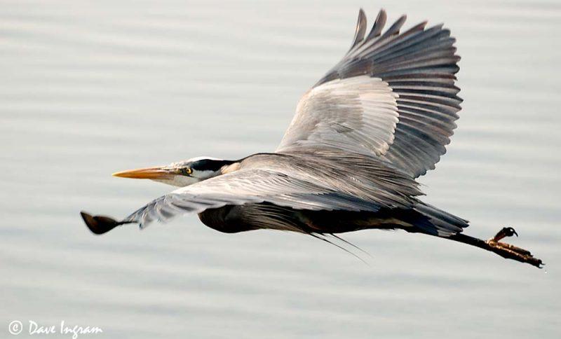 Great Blue Heron (Ardea herodias) in Flight