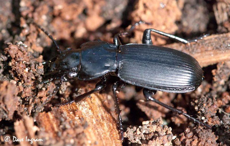 Ground Beetle (Pterostichus sp.)